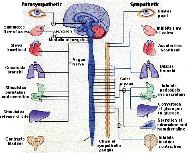What is this thing called the Autonomic Nervous System?