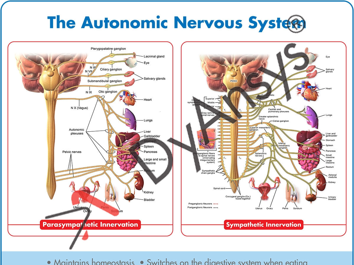 The Autonomic Nervous System Poster